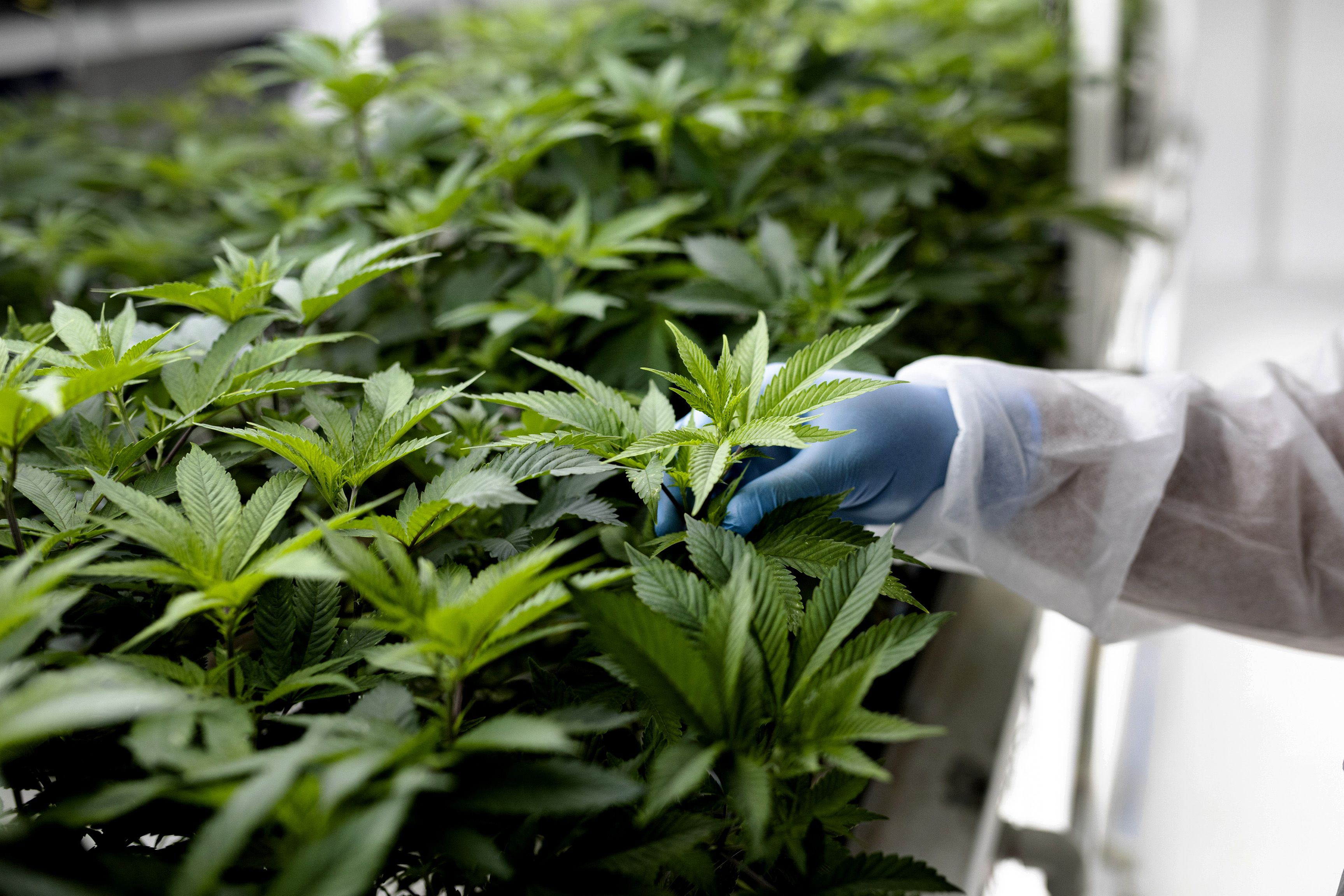 Marijuana Companies That Legally Export Cannabis to the U.S.
