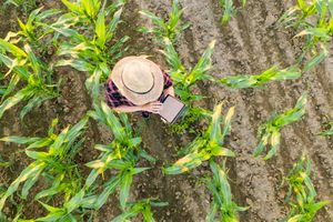 View from above of a female farmer in a straw hat using a tablet in a corn field.