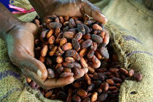 Cocoa farmer David Kebu Jnr holding the finished product, dried cocoa beans ready for export -- Solomon Islands
