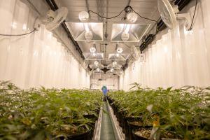 A farm growing cannabis for a medical marijuana supplier.