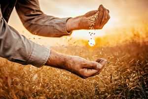 Farmer sifting grain from one hand to the other in field as the sun sets