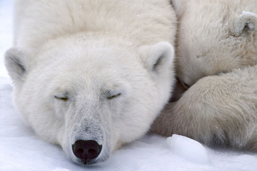 Polar Bears Sleeping / Mint Images/ Frans Lanting / Getty Images