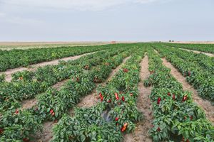 Serbia, field, red bell peppers