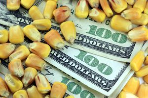 US currency one hundred dollar bill with yellow corn.