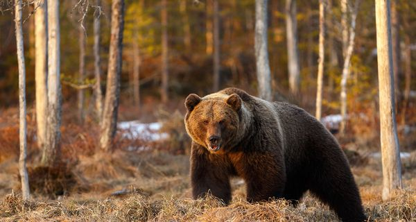 A grizzly bear in the wilderness