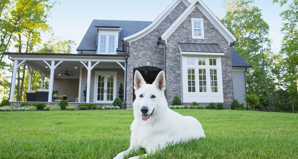 White German shepherd on green lawn in front of house