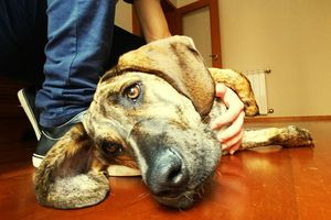 Sad dog lying on floor, petted by owner