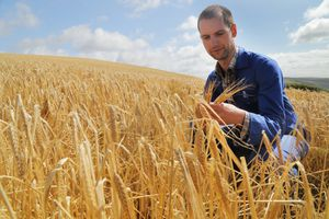 Farmer in wheat field looking at wheat